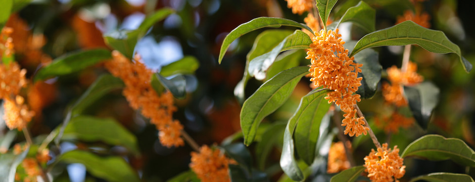 Osmanthus_fragrans_(orange_flowers)